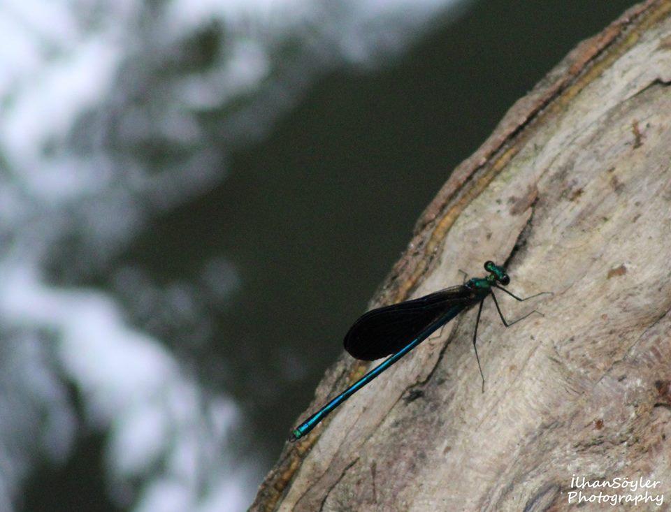 Pervane Böceği