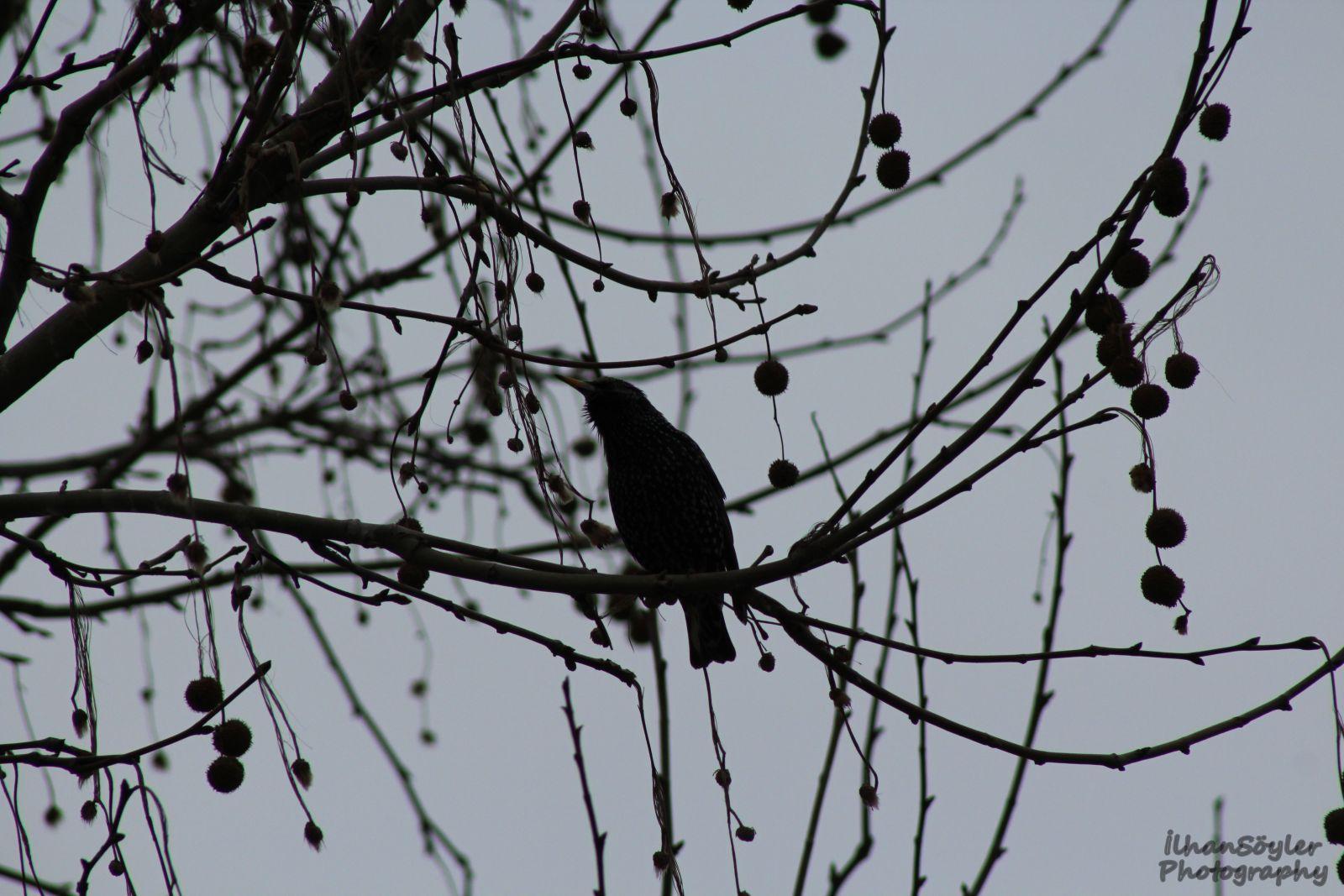 Sığırcık Kuşu