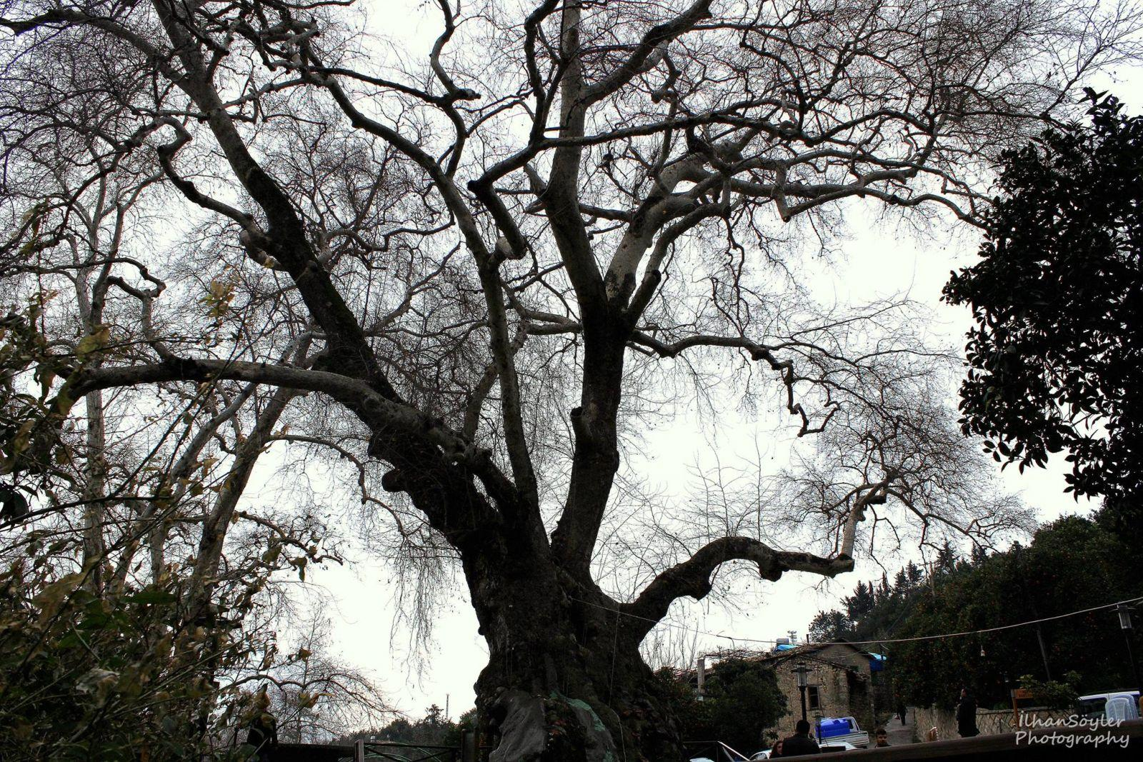 Hz.Musa Çınar Ağacı